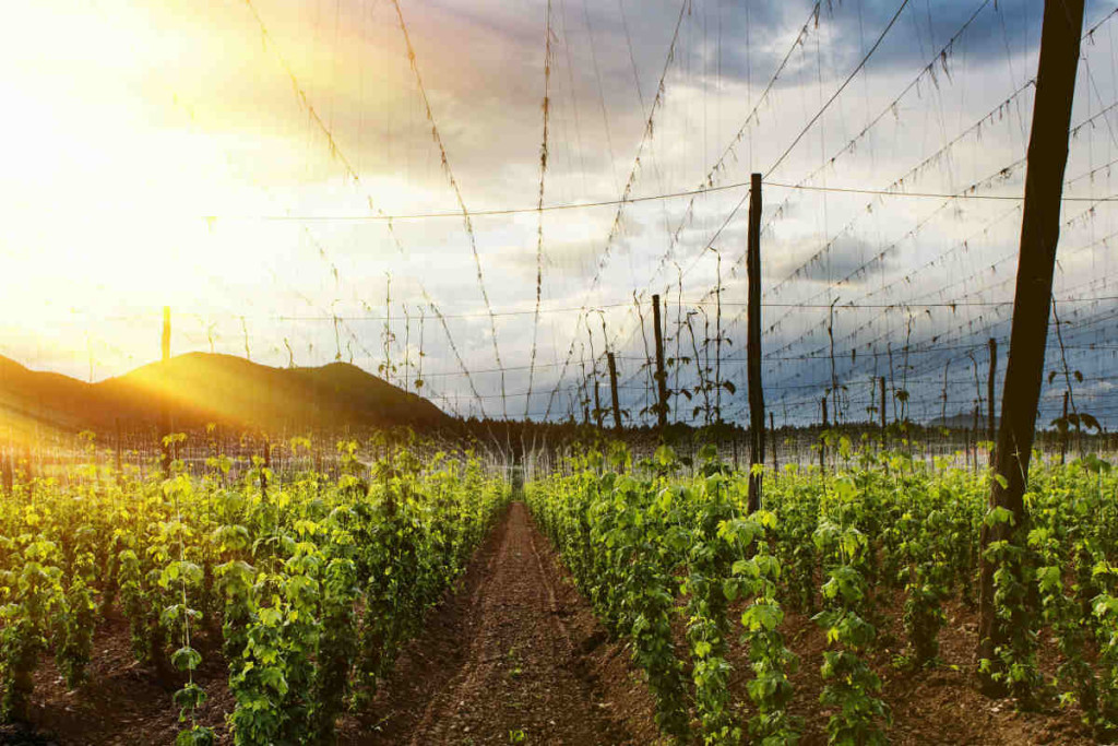 A Field A Hops In The Sunset