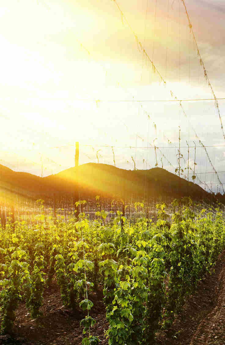Growing Hops in the Sunset